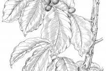 Drawing-of-Coffee-plant