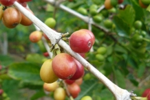 Ripened-Coffee-plant