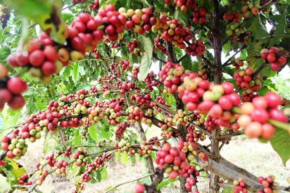 Coffee-Farming