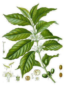 Plant-Illustration-of-Coffee