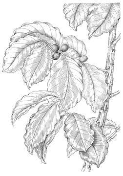 Sketch-of-Coffee-Plant