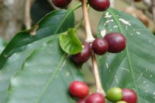Coffee-on-the-plant