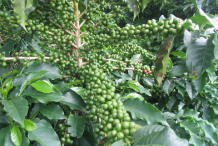 Immature-coffee-on-the-plant