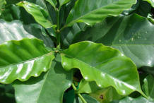 Leaves-of-Coffee-plant