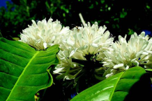 Flower-of-Coffee-plant