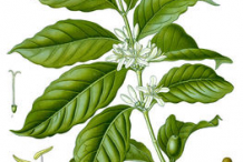 Plant-Illustration-of-Coffee