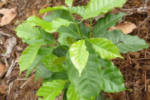 Small-Coffee-Plant
