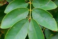 Leaves-of-Coffee-Senna