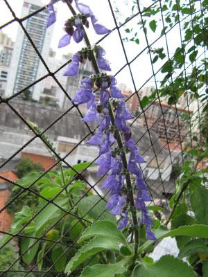 Flower-of-Coleus-forskohlii