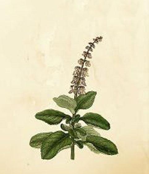 Plant-illustration-of-Coleus-forskohlii