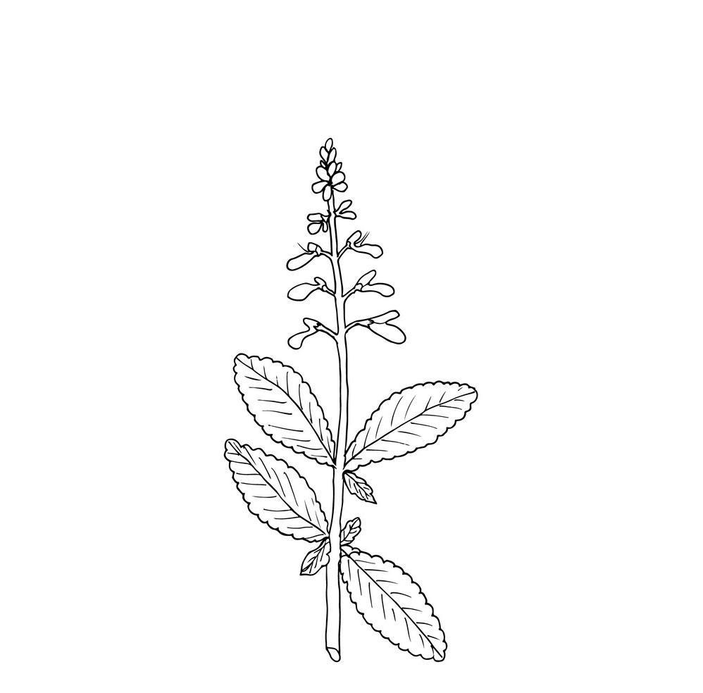 Sketch-of-Coleus-forskohlii