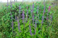 Coleus-forskohlii-Plant-growing-wild