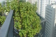 Coleus-forskohlii-Plant