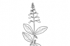 Sketch-of-Coleus-forskohlii