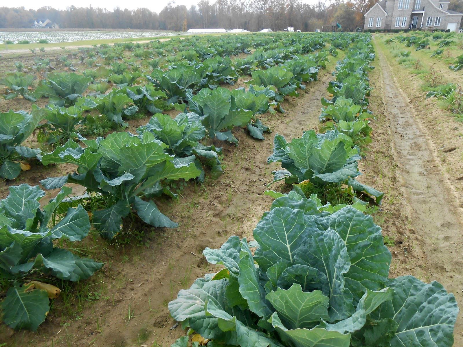 Collard Greens Farm
