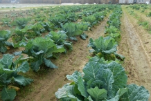 Collard-greens-farm