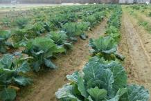 Collard-greens-farm