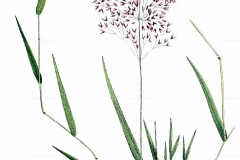 Plant-Illustration-of-Colonial-bent