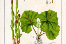 Illustration-of-Coltsfoot