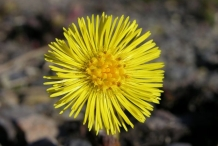 Coltsfoot-flower