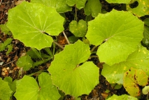 Coltsfoot-leaves