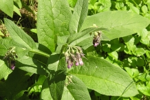 Comfrey-leaves
