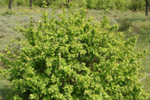 Common-barberry-Plant