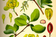 Plant-illustration-of-Common-barberry