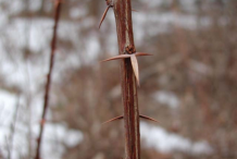 Spines-of-Common-barberry