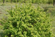 Common-barberry-Plant
