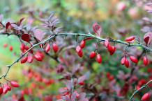 Common-barberry-on-the-plant