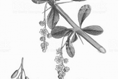 Sketch-of-Common-barberry