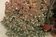 Common-Ice-plant