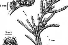Plant-Illustration-of-Common-Ice-plant