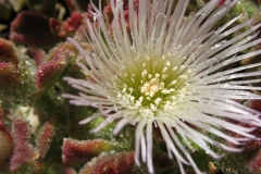 Closer-view-of-Flower-of-Common-Ice-plant
