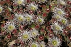 Flowers-of-Common-Ice-plant
