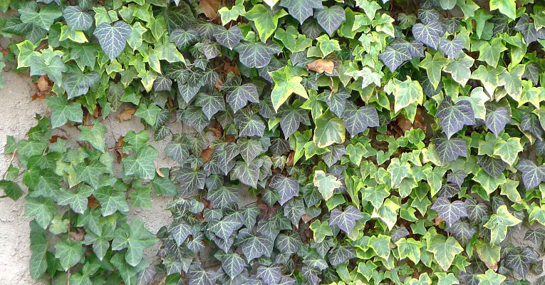 Common-ivy-growing-on-wall