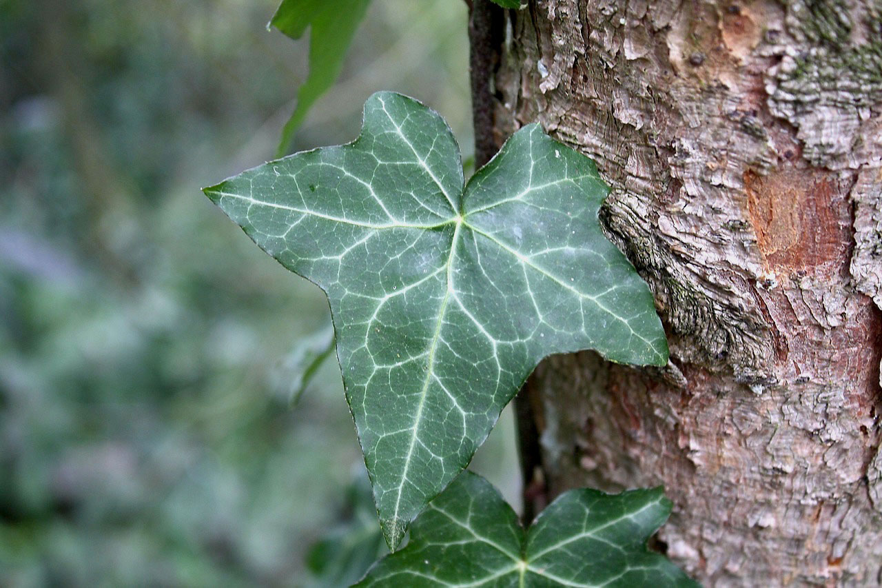 Leaves-of-Common-ivy