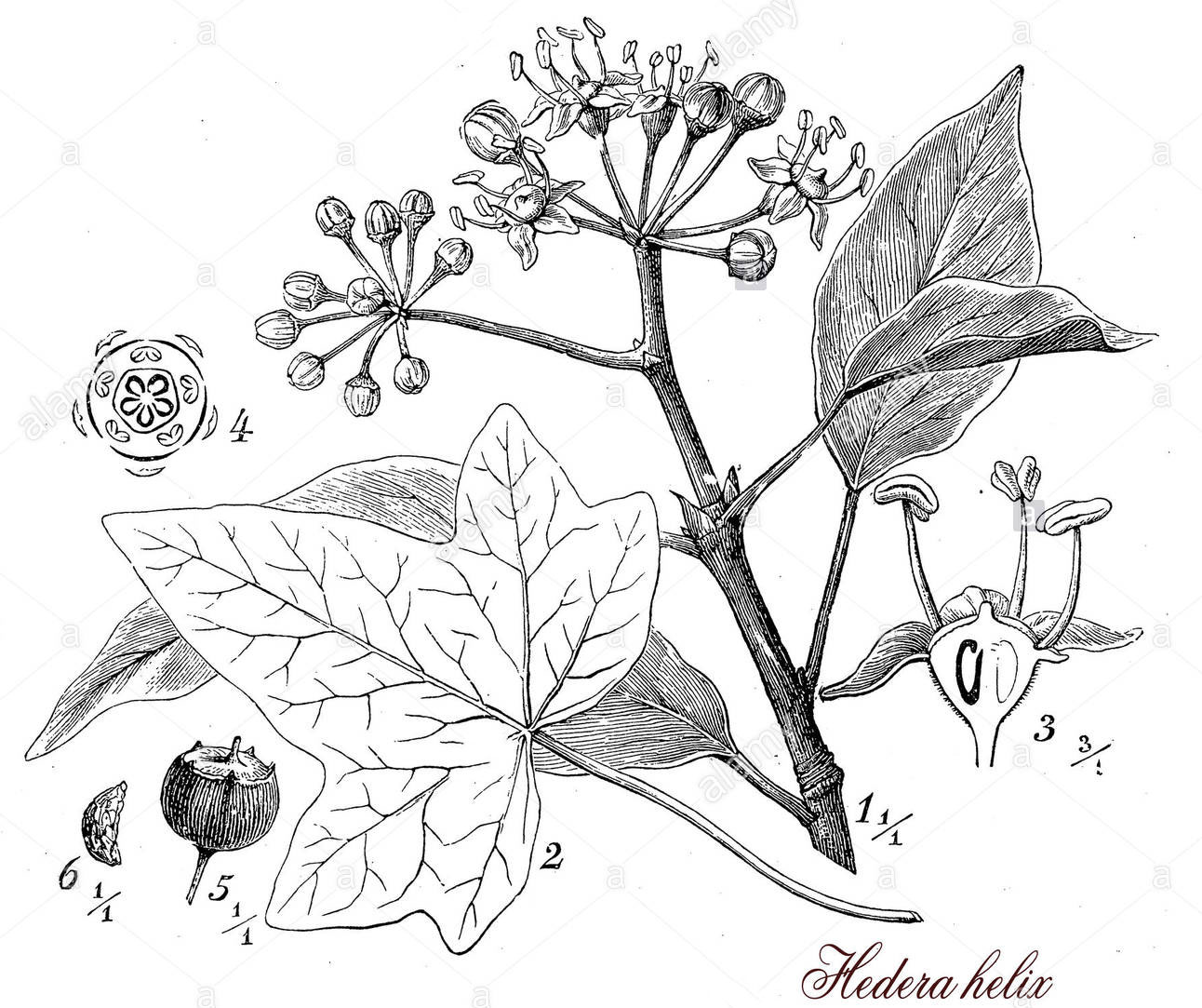 Sketch-of-Common-ivy