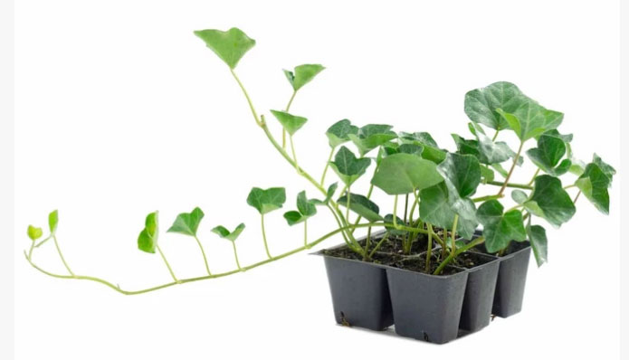 Small-Common-ivy-plant