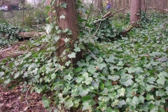 Common-Ivy-plant-growing-wild