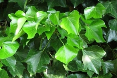 Common-ivy-plant