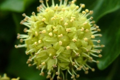 Flower-of-Common-ivy