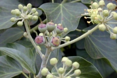 Immature-fruits-of-Common-ivy