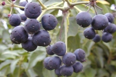 Mature-fruit-of-Common-ivy