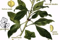 Plant-Illustration-of-Common-Ivy