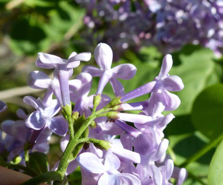 Common Lilac Facts And Health Benefits
