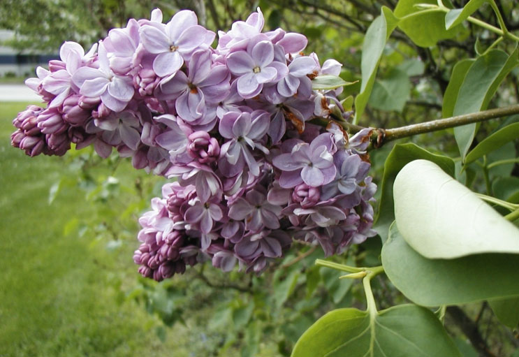 Flower-of-Common-Lilac
