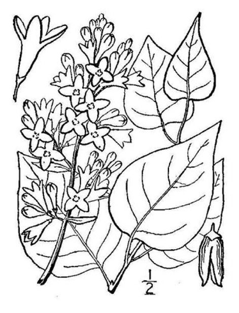 Sketch-of-Common-Lilac