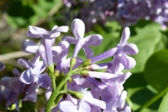 Closer-view-of-Common-Lilac-flower